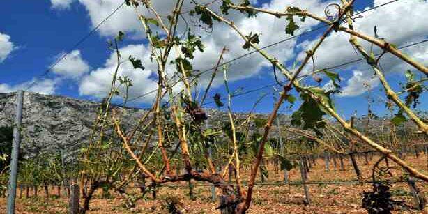 La grêle qui s'est abattue à Puyloubier dimanche matin a détruit une partie des vignobles de l'appellation Sainte Victoire.