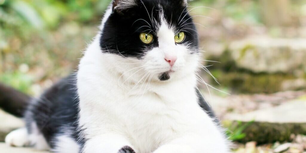 cat_black_and_white_pet_out_lying-655501.jpg!d