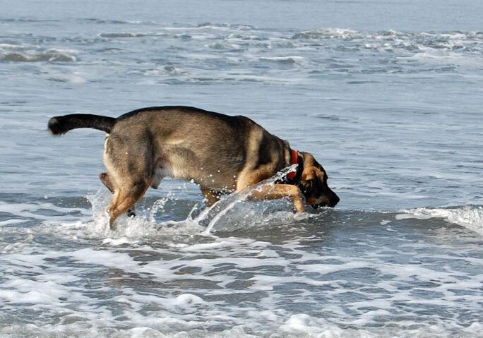 chien_boit_eau_de_mer