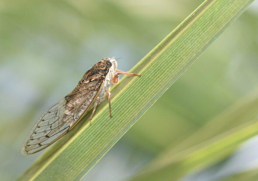 cicada-936145_960_720