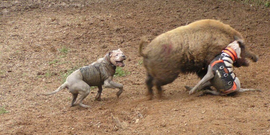 De kekke hesjes van de honden zijn bedoeld als bescherming tegen de sanglier in doodsnood.