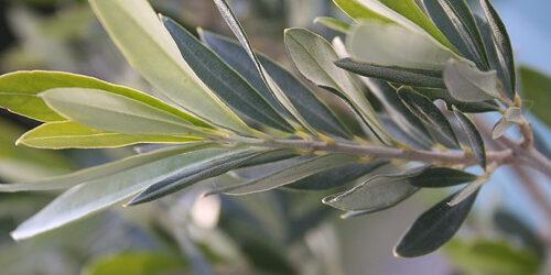 hypertension_les_plantes_medicinales_comme-1