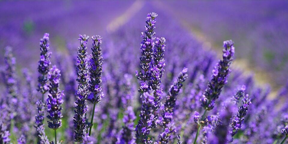 lavender-blossom-1595584_960_720