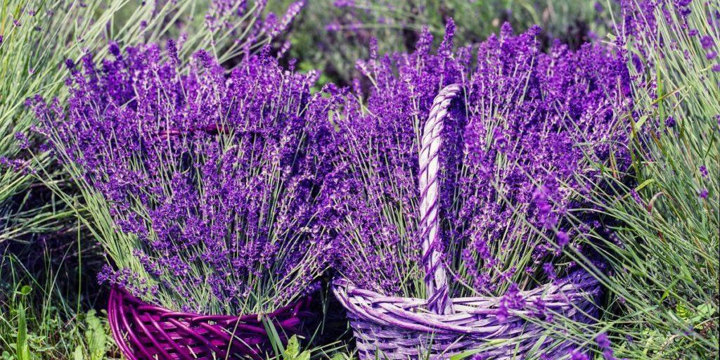 lavender_basket_nature_summer_flower_natural_fragrance_blossom-599521.jpg!d