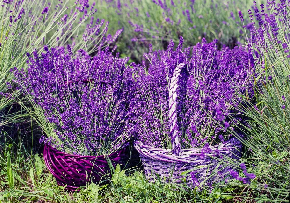 lavender_basket_nature_summer_flower_natural_fragrance_blossom-599521.jpg!d