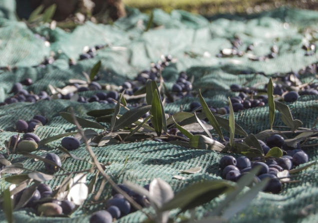 olijven oogsten