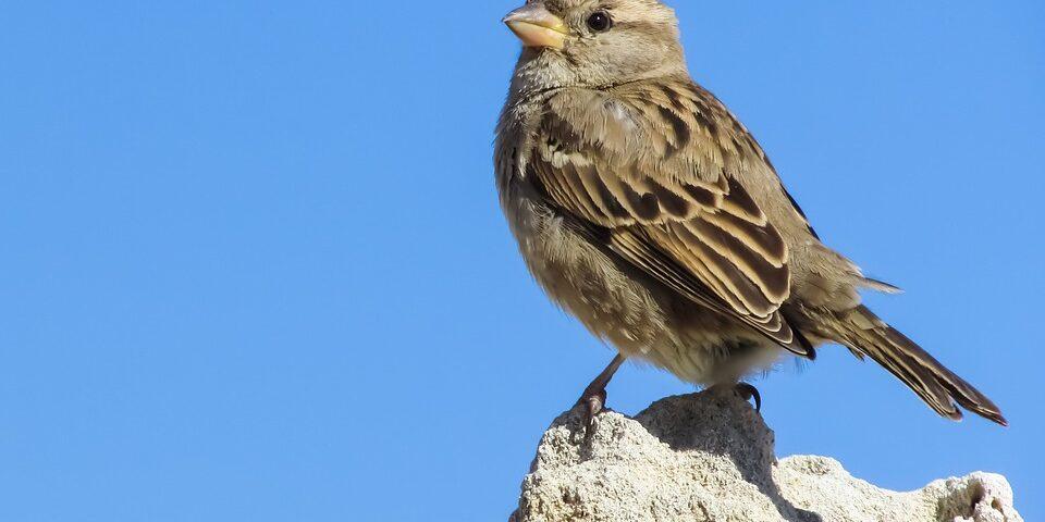 sparrow-2033851_960_720